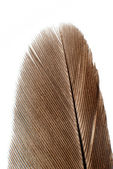Isolated bird feather on white background — Stock fotografie