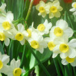 White Yellow daffodil flower — Stock Photo