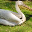 White migratory pelican bird — Stock Photo