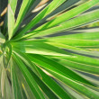 Stock Photo: Pattern of palm leafs