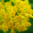 Yellow small flowers - ストック写真