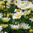 Field with white daisies - ストック写真