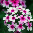 Pink and white flowers on a green background - ストック写真