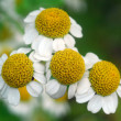 Three white daisies - ストック写真