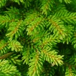 Pine tree branch — Stockfoto