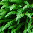 Stock Photo: Pine tree branch