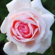 Pink White Rose Flower - Stock Photo