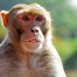 Monkey animal - Stock Photo
