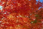 Red leaves against the blue tree — Stock Photo
