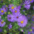 Cluster of purple pink yellow Daisy Flowers in bloom — Stock Photo