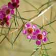 An isolated shot of Pink Ilex vomitoria Pendula Flower — Stock Photo