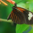 Isolated shot of black red and brown angled castor Butterfly insect — Stock Photo #19336219