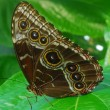 isolated shot of brown angled castor Butterfly insect — Stockfoto
