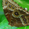 Isolated shot of brown angled castor Butterfly insect - Stock Photo