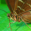 Isolated shot of brown angled castor Butterfly insect — Stock Photo