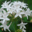 An isolated shot of white pentas flower blooming - Stock Photo