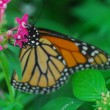 An isolated shot of Butterfly insect feeding on flower — Stock Photo #19338205