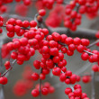 Royalty-Free Stock Photo: Red rowan on branches