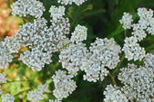 Tiny white bridal wreath flower Spiraea vanhouttei — Stock Photo