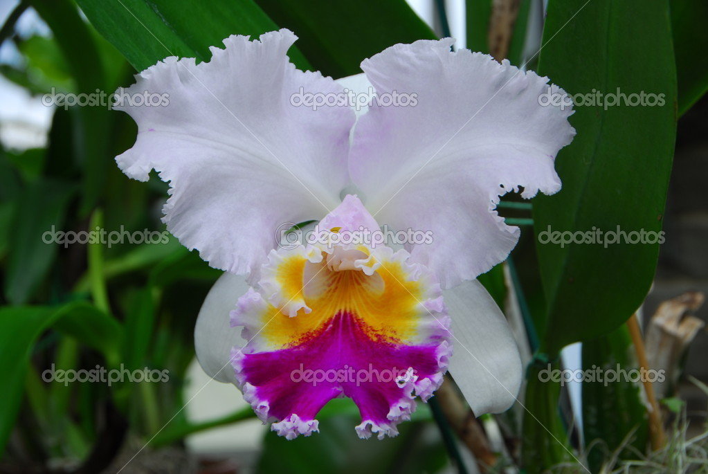 White Cattleya Orchids Cattleya White Yellow Magenta Orchid Flower in Bloom in Spring Photo by