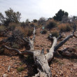 Withered tree in the desert — Stock fotografie