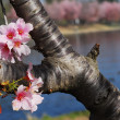 Pink white Cherry blossom flower in bloom in spring — Stock Photo