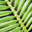 Ribbed Pine Leaf — Stock Photo