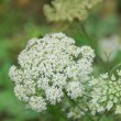 Closeup of white Ammi majus Bishopsweed Bullwort Laceflower — Stockfoto