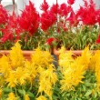 Stock Photo: Red and Yellow Flowers