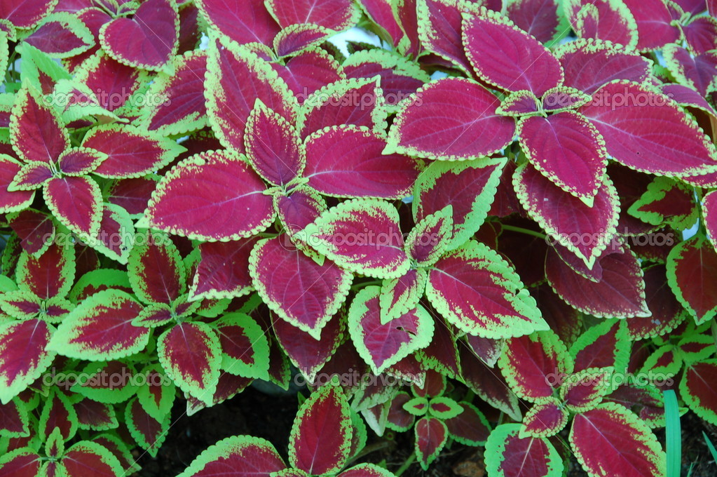 Colorful indoor plant stock photo nikonite 21295211 - Indoor colorful plants ...