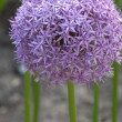 Stockfoto: Ball shape Allium hollandicum purple sensation onion flower florets in bloom