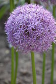 Ball shape Allium hollandicum purple sensation onion flower florets in bloom — Stok fotoğraf