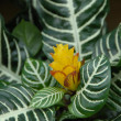 Yellow Flower blooming on green white Croton plant — Stock Photo