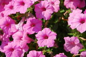 Petunia pink flower in bloom in spring — Stock Photo
