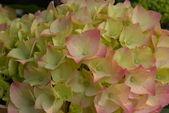 Klastra kwiat różowy żółty hortensja kwitną wiosną — Zdjęcie stockowe