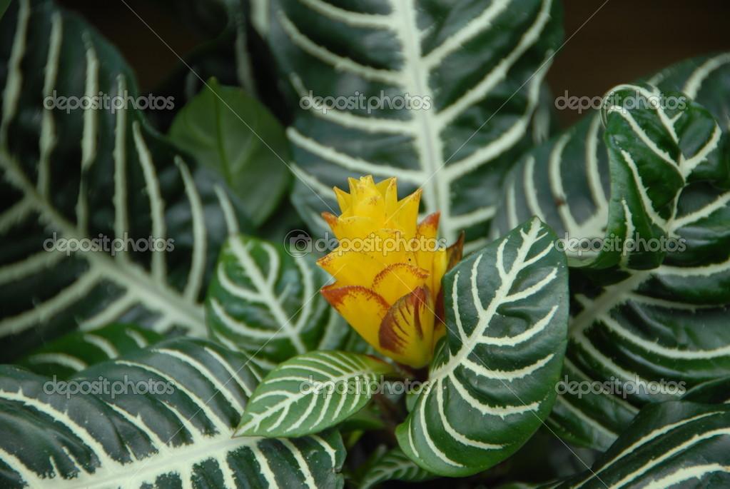 fleur jaune qui fleurit sur la plante verte croton blanc. Black Bedroom Furniture Sets. Home Design Ideas
