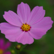 An isolated shot of Pink cosmos Flower — Stock Photo