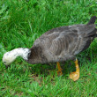 Goose in the grass — Stock Photo