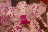 Phalaenopsis Pink white yellow orchid flower in bloom in spring — Stock Photo