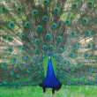 Peacock bird dance to attract a peahen — Stock Photo