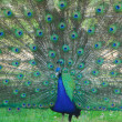 Stock Photo: Peacock bird dance to attract peahen
