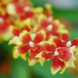 Oncidium Red yellow orchid flower in bloom in spring - Stock Photo