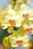 An isolated shot of yellow Orchid Flower blooming — Stock Photo