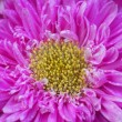 Pink chrysanthemum Daisy Flower - Stock Photo