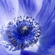 Blue Anemone flower - Stock Photo