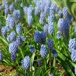 Grape Hyacinth Muscari armeniacum flower - Stock Photo