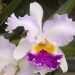 Cattleya pink yellow orchid flower - Stock Photo
