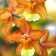 Oncidium Yellow brown Orchid flower - Stock Photo