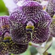 Vanda purple white orchid flower — Stock Photo