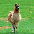 Llama animal — Stock Photo
